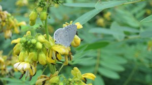 Blue Butterfly on Wild Senna,by John Humphreys