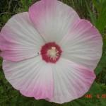 Hibiscus moscheutos (author = John Humphreys)