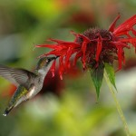 RubyThroated Hummingbird sipping nectar from Bee Balm (Monarda) - author, Joe Schneid
