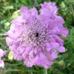 Scabiosa (user = Stan Shebs)