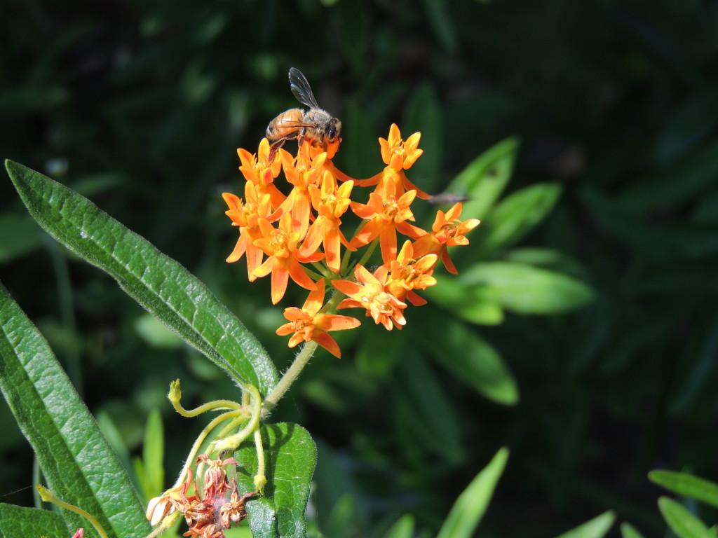 Milkweed and honey bee (John Humphreys)