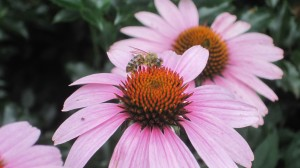 Echinacea with bee (John Humphreys)