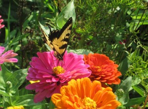 Swallowtail on Zinnias (John Humphreys)