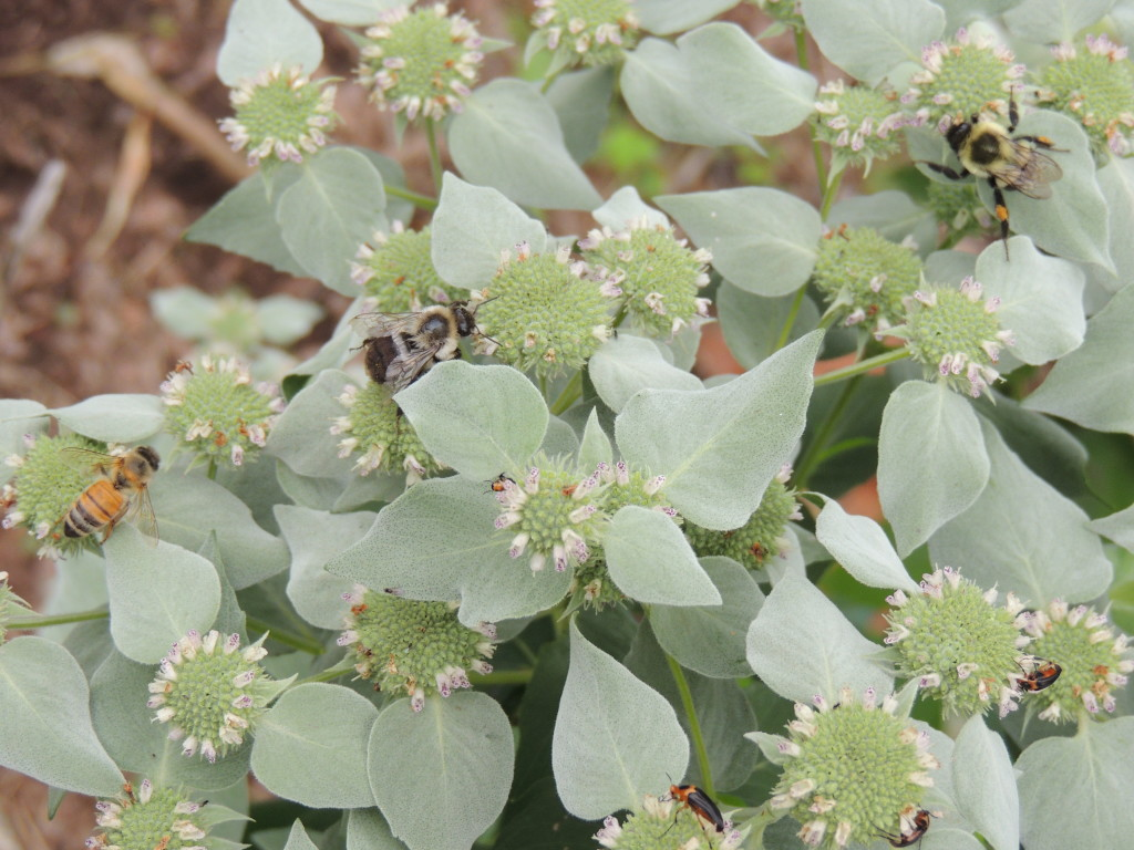 Mountain Mint and Bees