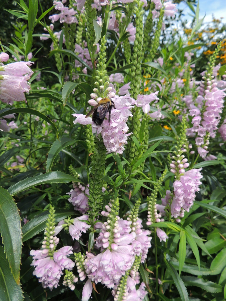 Obedient Plant (and very large bee) - John Humphreys
