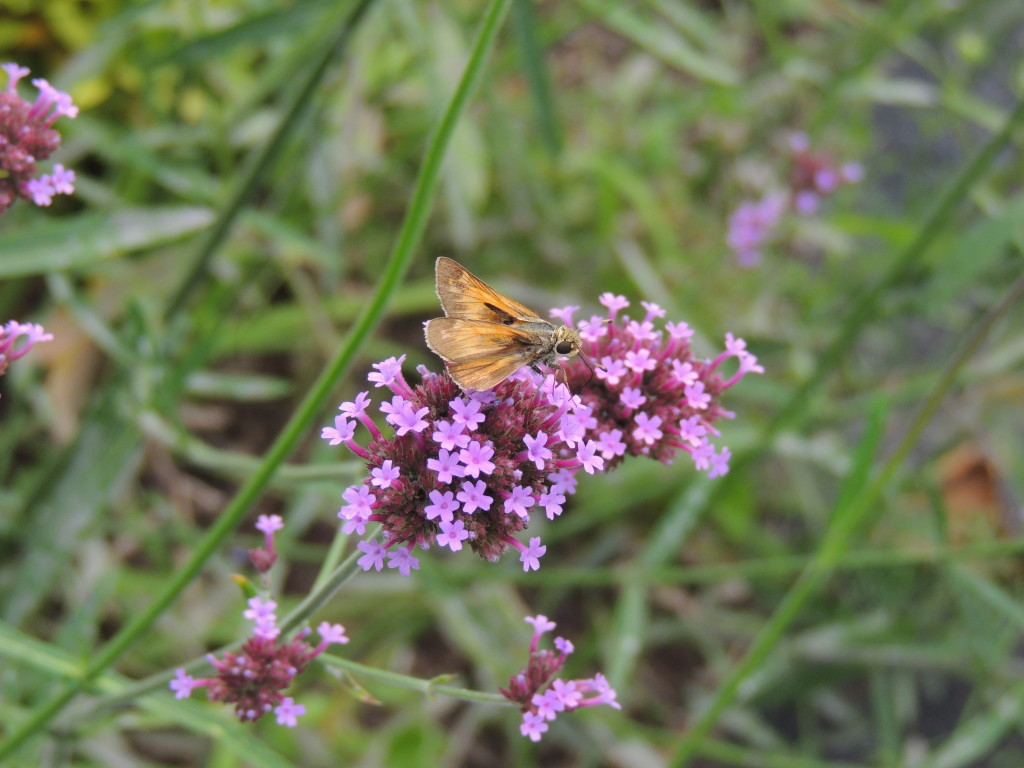 Skipper on Verbena bonariensis (author =John Humphreys)