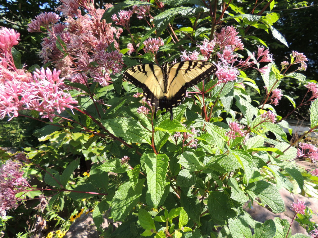 Swallowtail and Joe Pye Weed - John Humphreys