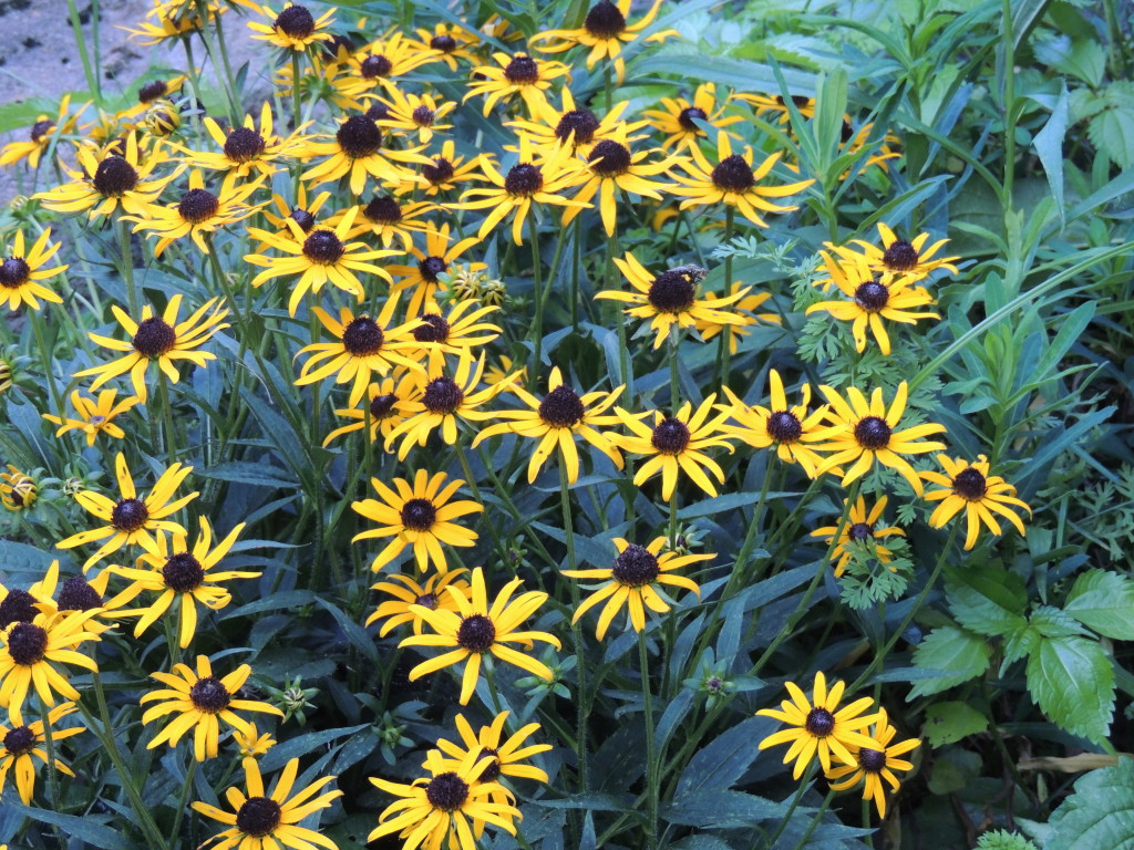 Rudbeckia sp., taken August 1st, 2017 by John Humphreys