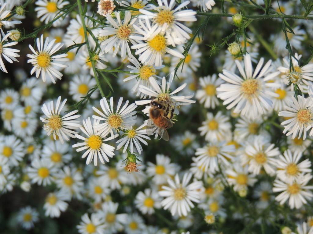 Aster with honey bee (John Humphreys)
