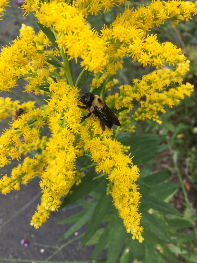 Bee on goldenrod (John Humphreys)