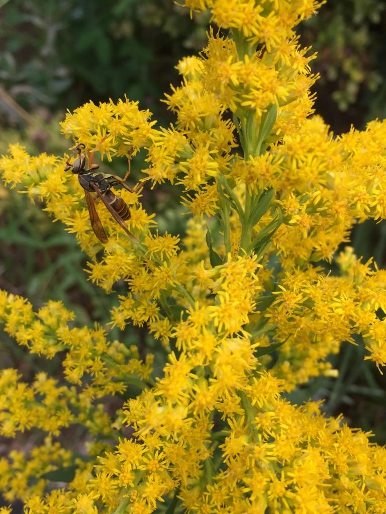 Wasp on goldenrod (John Humphreys)